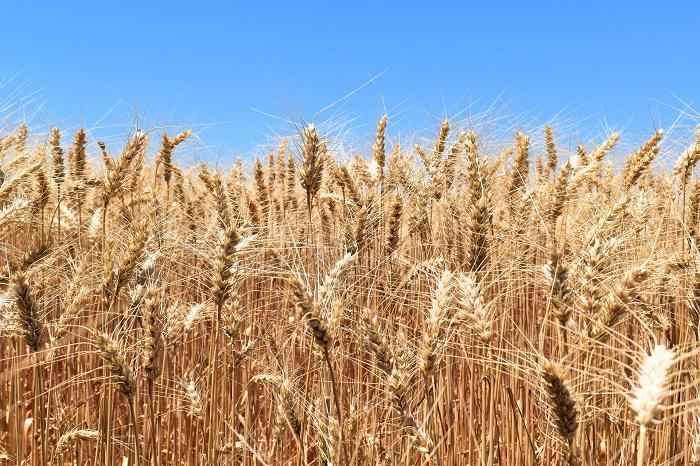 Pšenica ako základ poľnohospodárstva